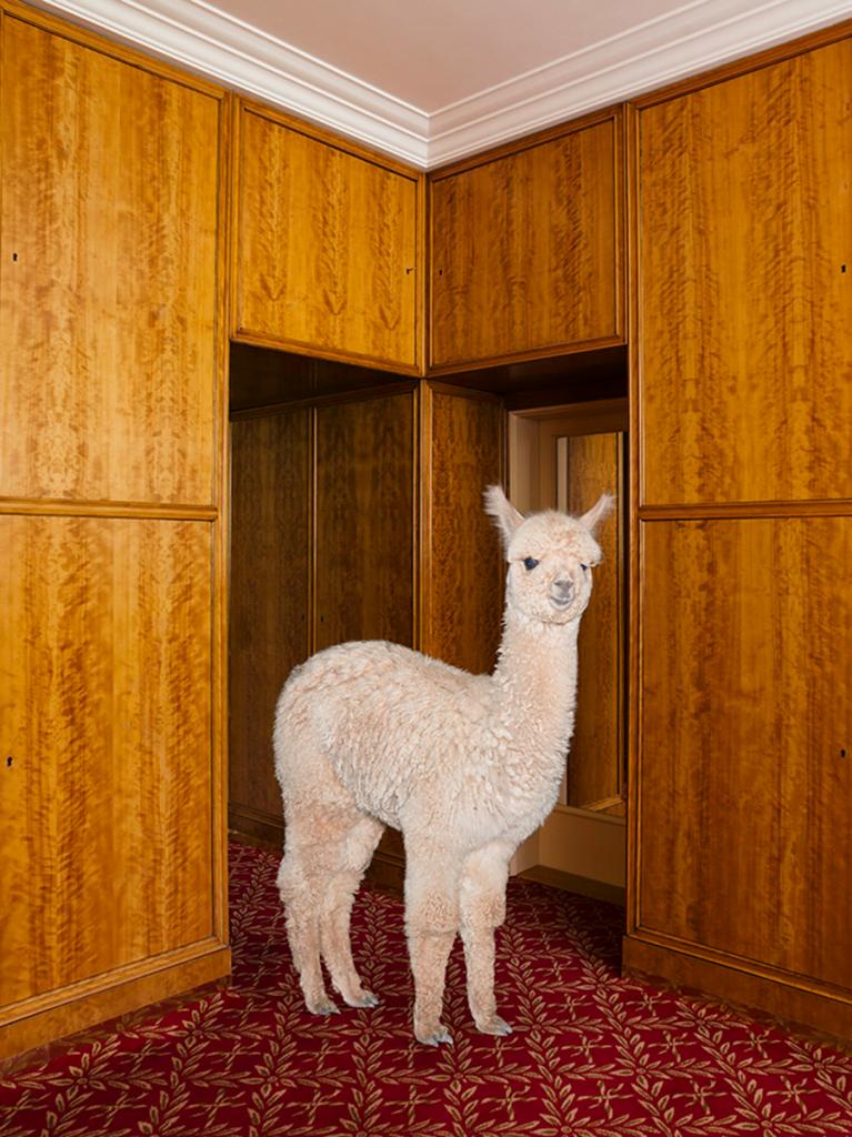 kalendarz z alpakami